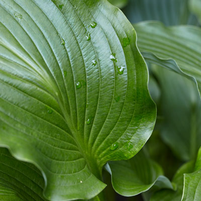 'Cutting edge' hosta
