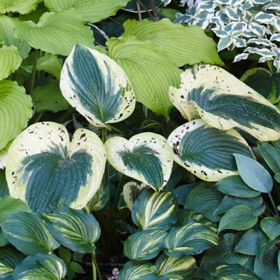 hosta 