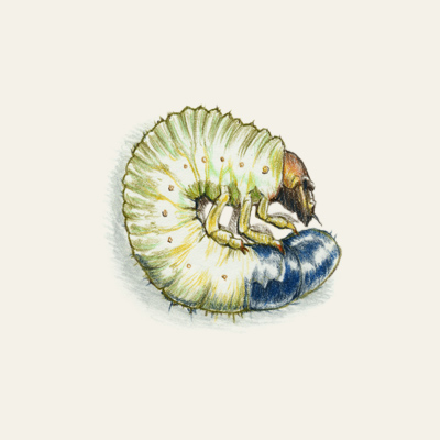 white grubs summer lawn pest illustration