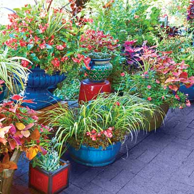 'Red Dragon' begonia, coleus, and other plants in blue, green, and purple pots edge a patio 