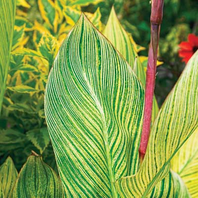 zebra-striped cannas