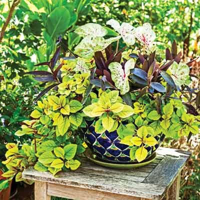 Caladium, purple heart and golden Swedish Ivy in a container