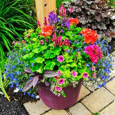 garden container with red pelargonium, magenta celosia, blue lobelia and Persian shield