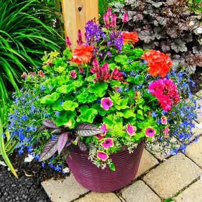 garden container with red pelargonium, magenta celosia, blue lobelia and Persian shield