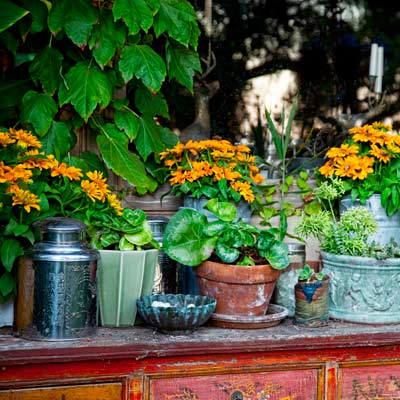 succulents aeoniums, senecios, echeverias and agaves in containers on vintage pine table in garden