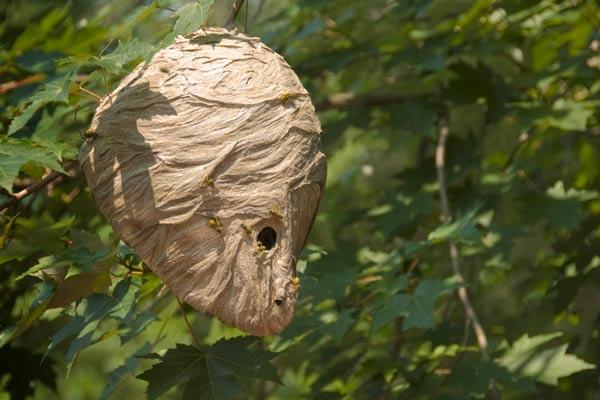 hornet's nest in tree, homeowner survival skills