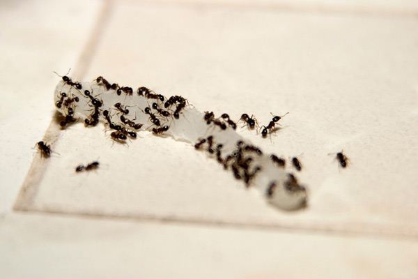 ants eating food on kitchen floor, homeowner survival skills
