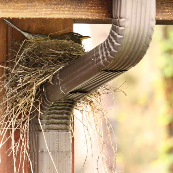 bird nesting in house's gutter downspout, homeowner survival skills