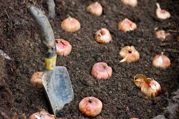 bulbs set out in soil ready to be planted
