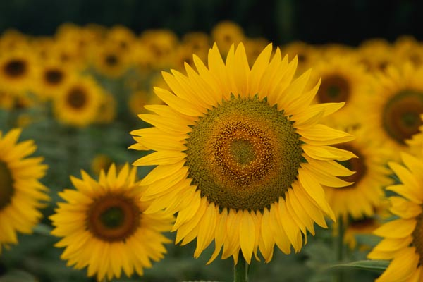 sunflower in field, save seeds to plant later