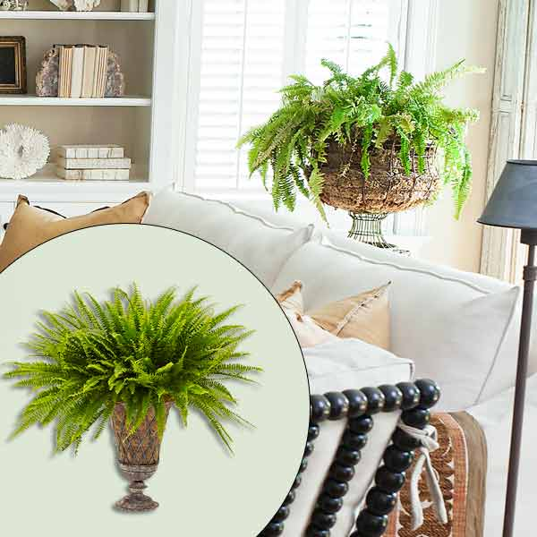 get this look naturalist living room with boston fern