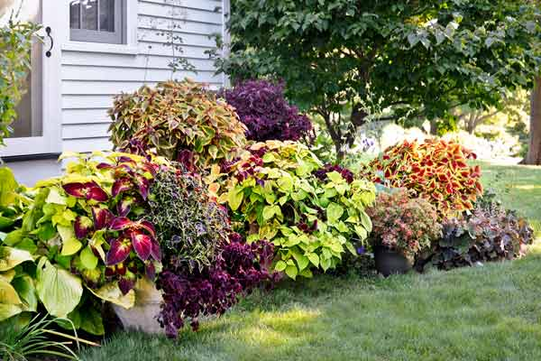 coleus color garden zesty zucchini, gnash rambler in border of garden bed