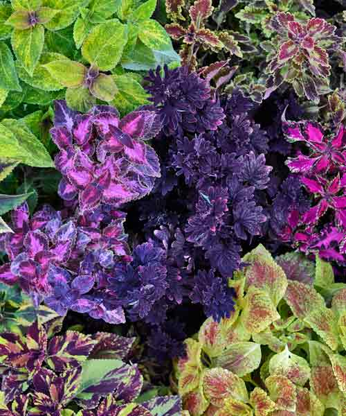 coleus color garden midnight rambler with other foliage