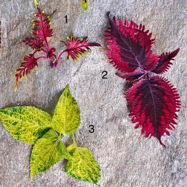 coleus color garden bone fish, gnash rambler, dappled apple