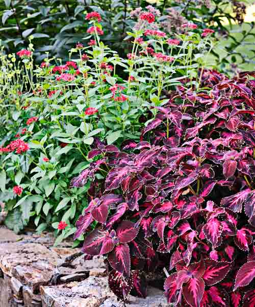 coleus color garden, kingswood torch, ruby glow pentas