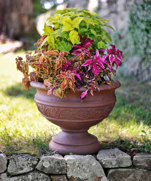 coleus color garden, container plant with garnet robe, spreading salmon impatiens, endless summer hydrangea, brownie points, dappled apple, pink chaos