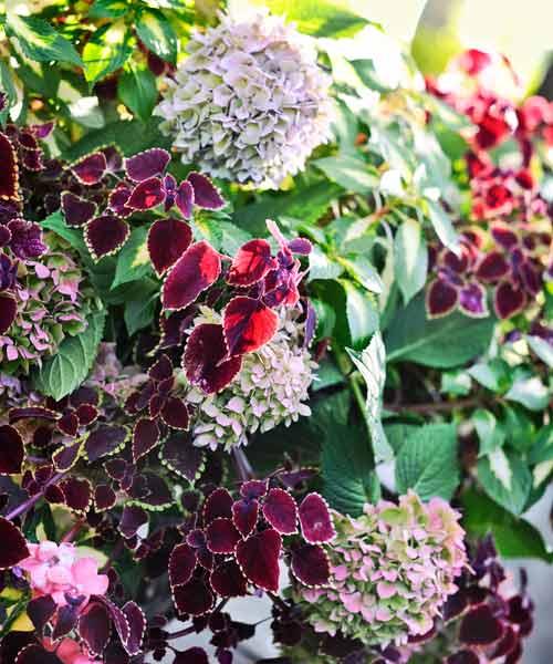 coleus color garden, garnet robe coleus, endless summer hydrangea