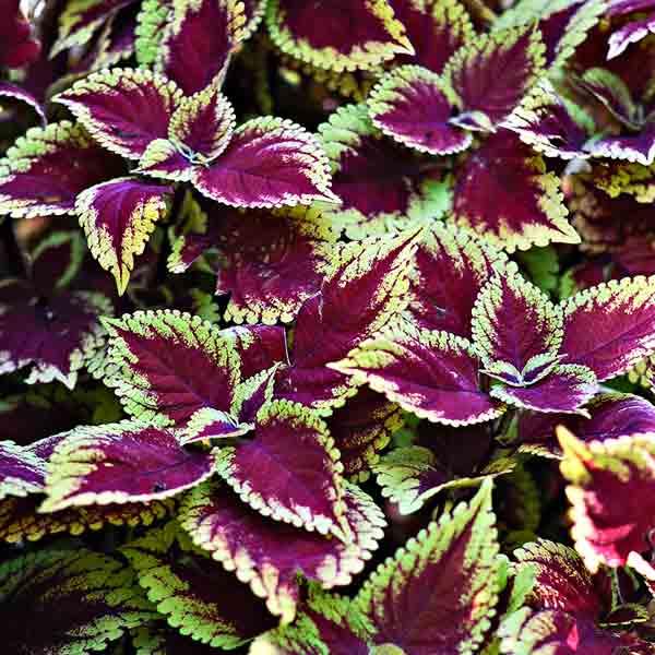 coleus color garden, trusty rusty