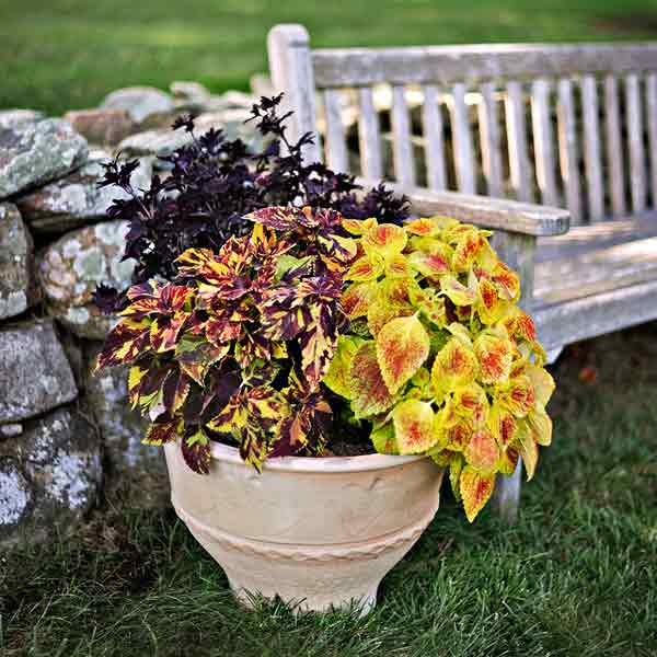 coleus color garden, duke of swirl, midnight rambler, juicy lucy in container, bench