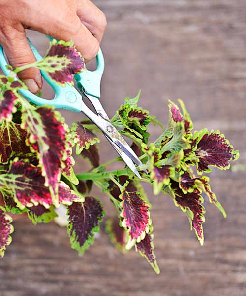 coleus color garden, how to split a coleus step 1