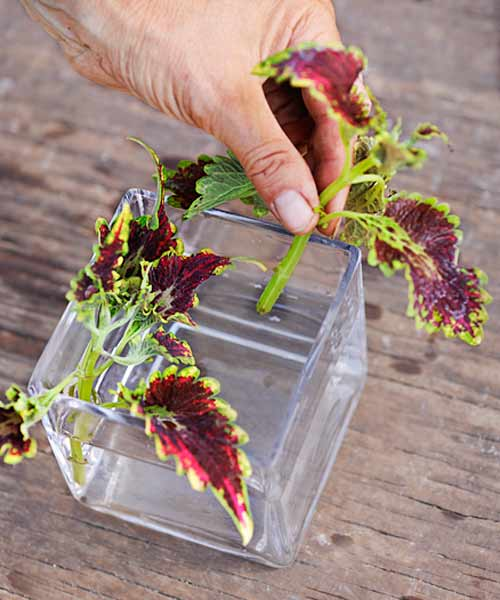 coleus color garden, how to split a coleus step 2