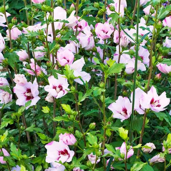 avoid invasive plants rose of sharon