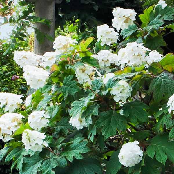 avoid invasive plants rose of sharon alternative Oakleaf Hydrangea