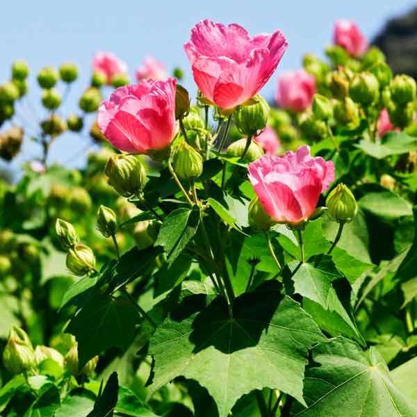 avoid invasive plants rose of sharon alternative Confederate Rose (Hibiscus mutabilis)
