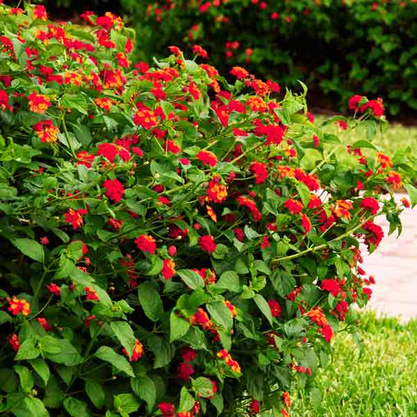 avoid invasive plants (Lantana camara)