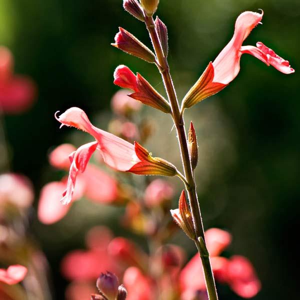 avoid invasive plants (Lantana camara) alternative Autumn Sage (Salvia greggii)