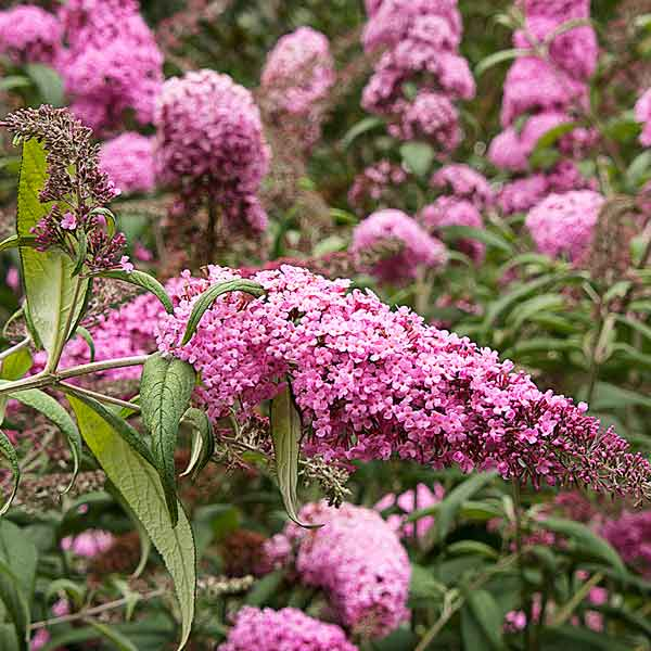 avoid invasive plants Butterfly Bush (Buddleia davidii)