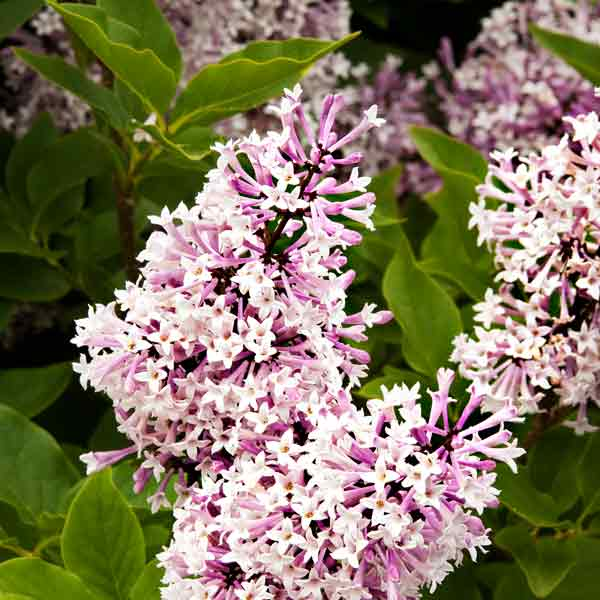 avoid invasive plants Butterfly Bush Alternative: 'Miss Kim' Korean Lilac (Syringa pabescens subsp. patula 'Miss Kim')