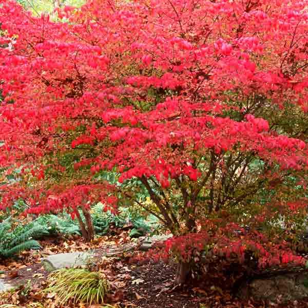 avoid invasive plants Problem Plant: Burning Bush (Euonymus alatus)