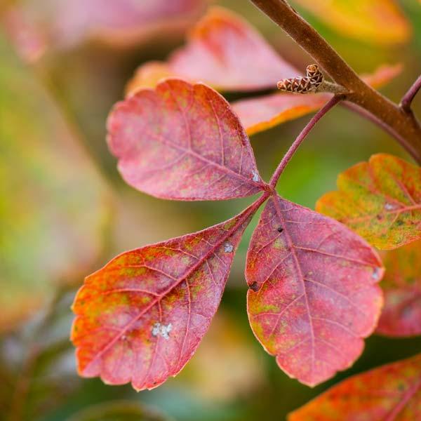 avoid invasive plants Burning Bush alternative fragrant sumac (Rhus aromatica)