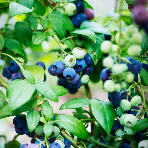 avoid invasive plants Burning Bush Alternative: Blueberry (Vaccinium corymbosum)