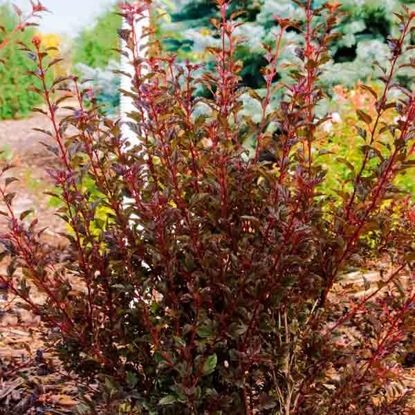avoid invasive plants Barberry Alternative: Ninebark (Physocarpus opulifolius)
