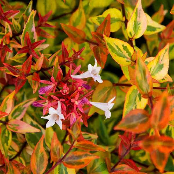 avoid invasive plants Chinese Privet Alternative: Abelia (Abelia x grandiflora)