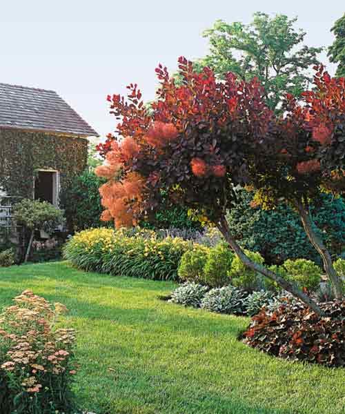 avoid invasive plants Saltcedar Alternative: Smoke Bush (Cotinus coggygria)