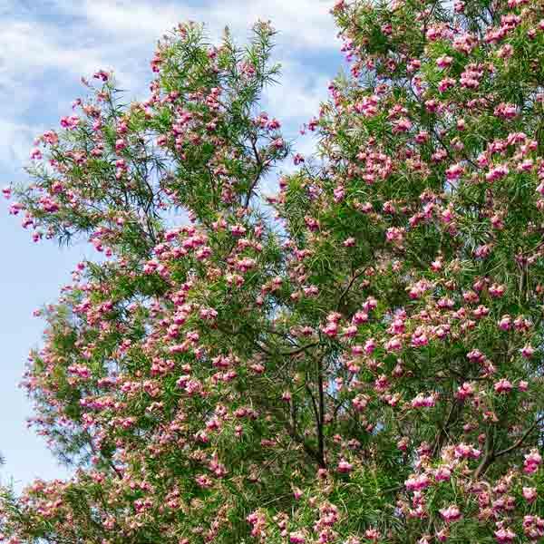 avoid invasive plants Saltcedar Alternative: Desert Willow (Chilopsis linearis)
