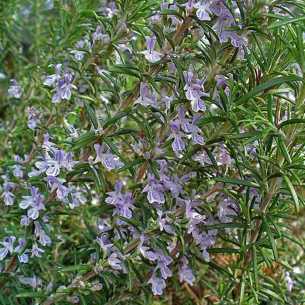 avoid invasive plants Scotch Broom Alternative: Rosemary (Rosmarinus officinalis)