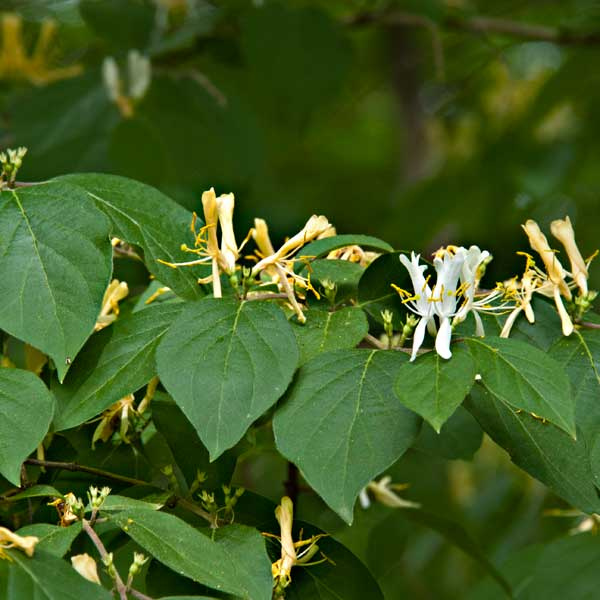 avoid invasive plants Scotch Broom Alternative: Vernal Witch Hazel (Hamamelis vernalis)