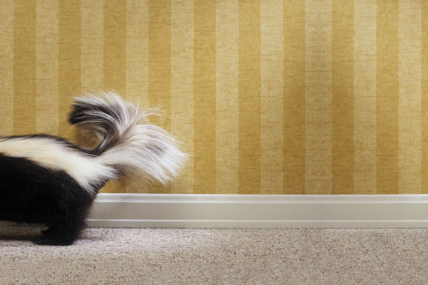 skunk running across carpet inside house, getting rid of household odors safely