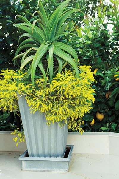 Fun foliage easy care low water container gardens for Easy care outdoor plants