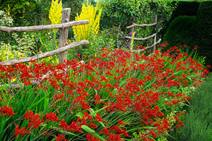 red 'Lucifer' crocosmia in bloom