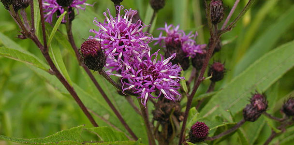 New York ironweed wildflower