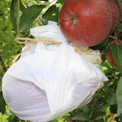 plastic bag wrapped around an apple on a tree for protection