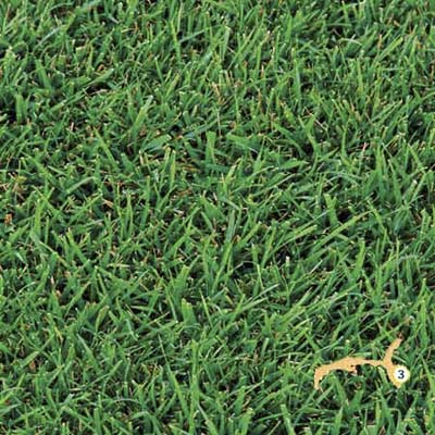 St. Augustine grass