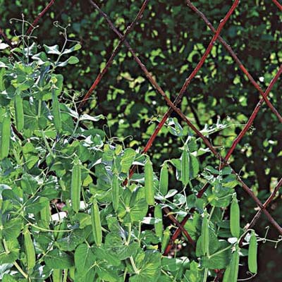 plant peas and watch them climb