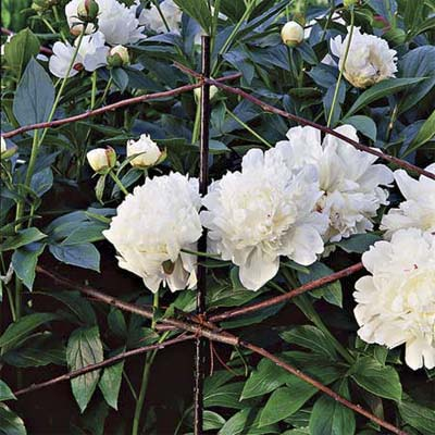 beef up twig supports for peonies