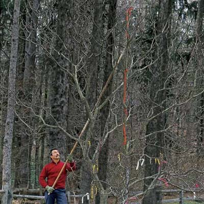 man marking branches to cut first when pruning a tree